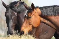 Diarré hos heste – et udbredt problem