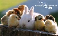 Coccidiose hos dine kaniner og kyllinger