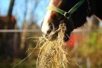 Mavesår hos heste