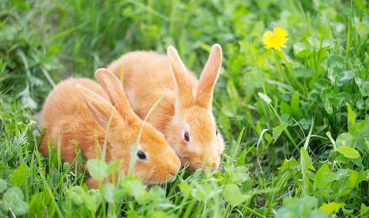 Kaniner og marsvin